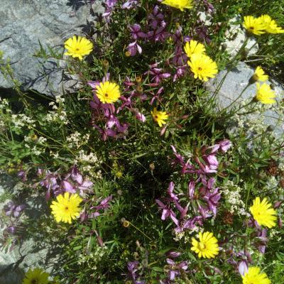 Fleurs de montagne