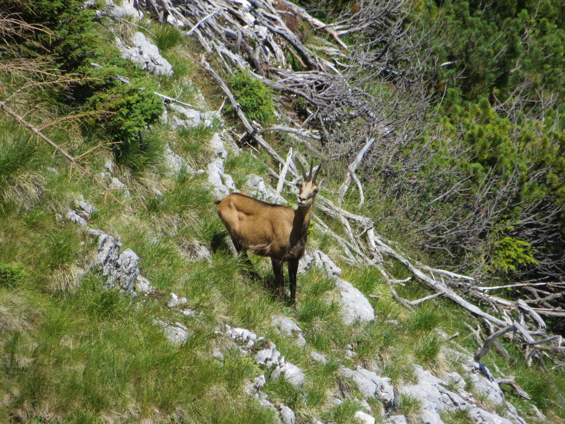 Chamois Allemand